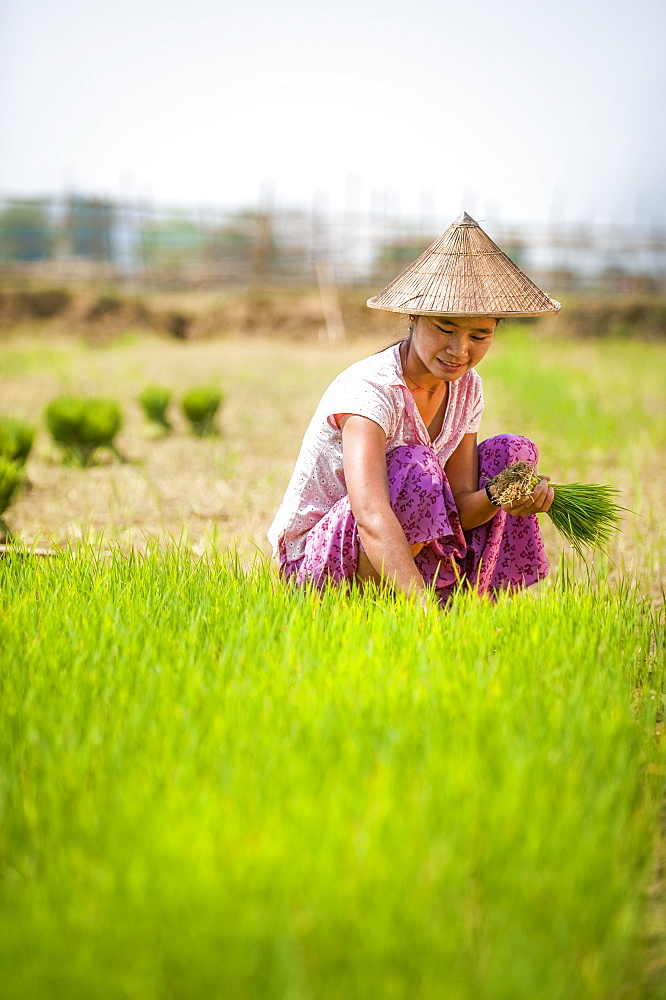A woman harvests young rice into bundles which will be re-planted spaced further apart using more paddies to allow the rice to grow, Kachin State, Myanmar (Burma), Asia - 1225-190