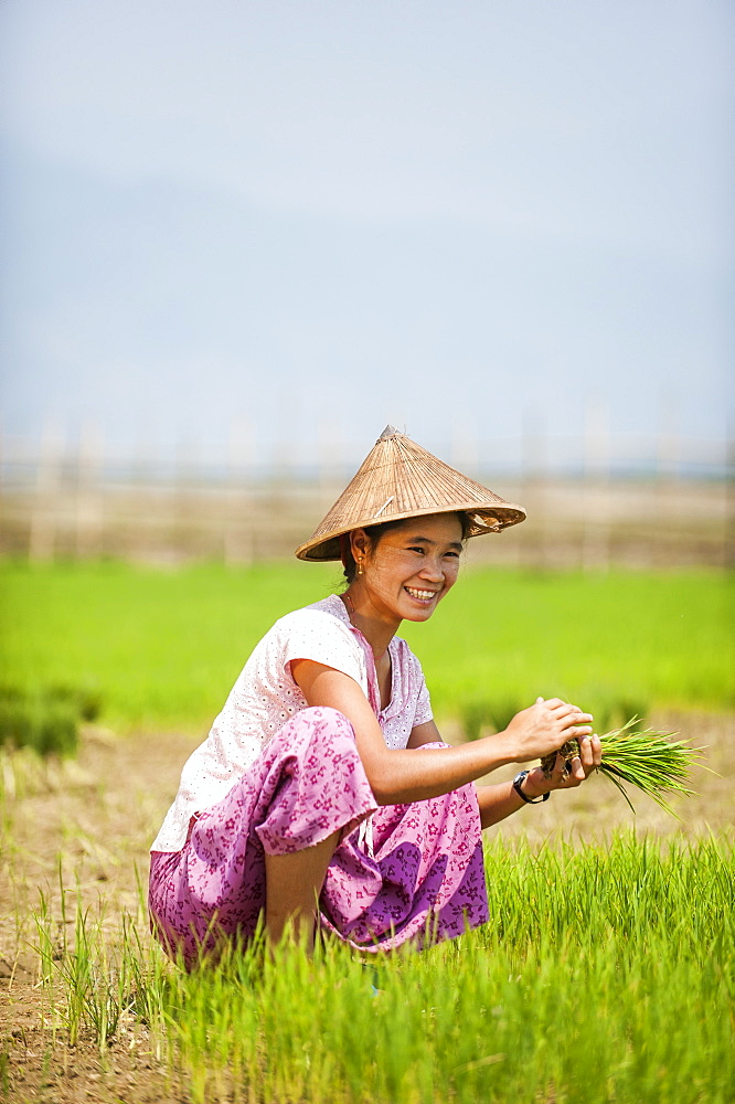 A woman harvests young rice into bundles which will be re-planted spaced further apart using more paddies to allow the rice to grow, Kachin State, Myanmar (Burma), Asia - 1225-191