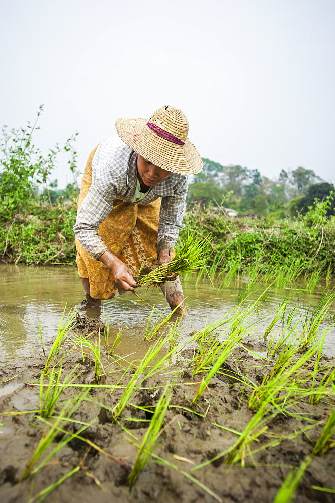 A woman plants rice in paddies near Myitkyina, Myanmar (Burma), Asia