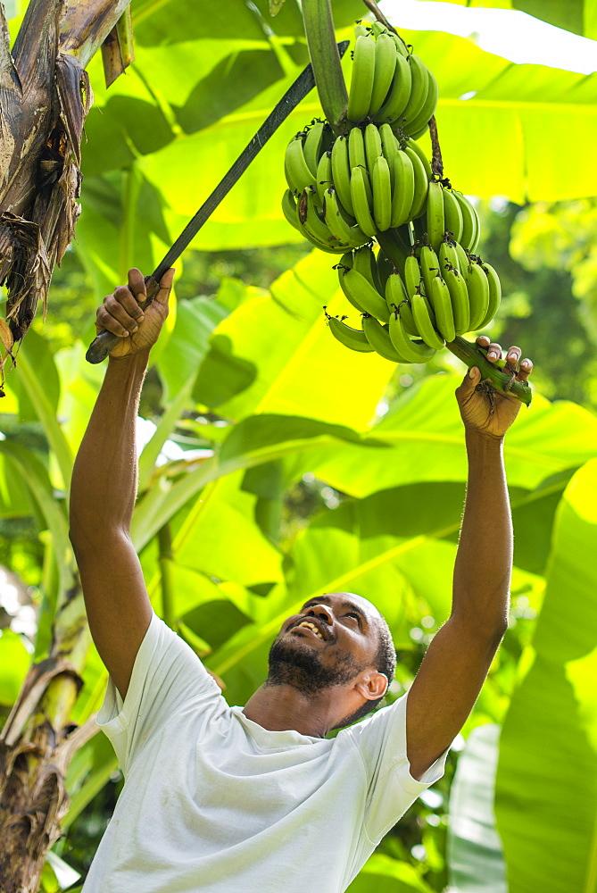 A man harvests bananas in Castara Bay on the Caribbean island of Tobago, Trinidad and Tobago, West Indies, Caribbean, Central America