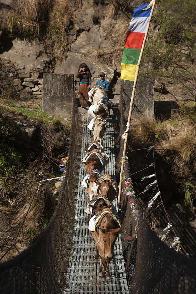 Pack horses on their way down cross a wire bridge, Tzum Valley, Nepal, Asia