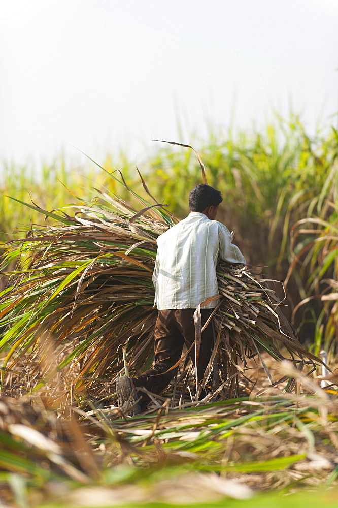 A man harvests sugarcane in Uttarakhand, India, Asia