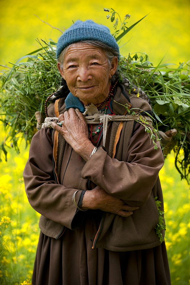 A woman works in a mustard filed in the remote Nubra Valley in Ladakh, India, Asia