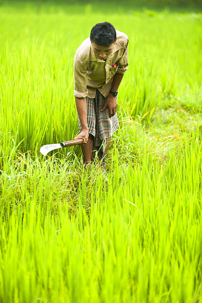 A man clears away grass from the rice paddies, Chittagong Hill Tracts, Bangladesh, Asia