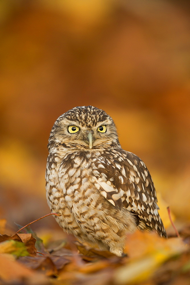 Burrowing owl (Athene cunicularia), among autumn foliage, United Kingdom, Europe