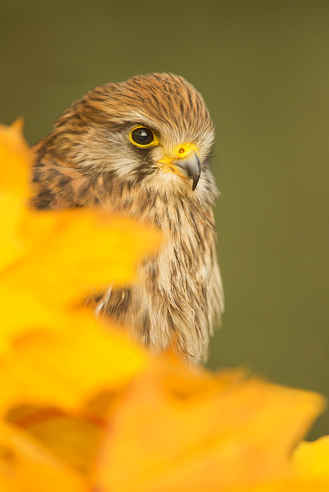 Common kestrel (Falco tinnunculus), among autumn foliage, United Kingdom, Europe