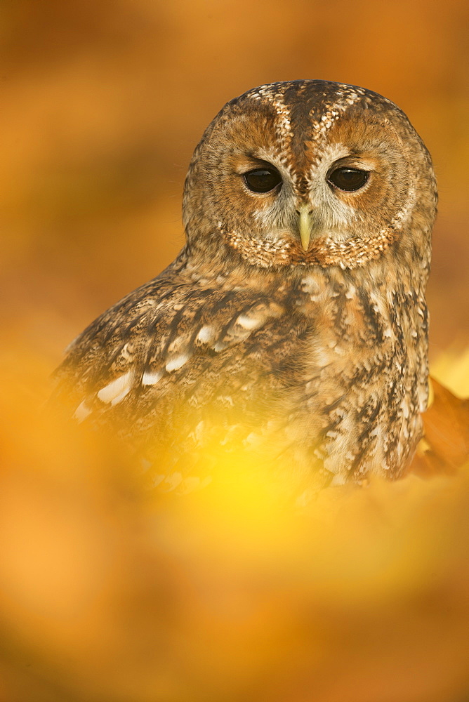 Tawny owl (Strix aluco), among autumn foliage, United Kingdom, Europe