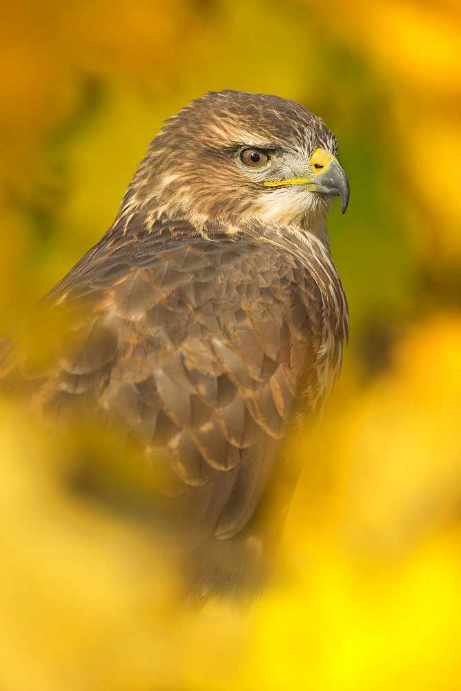 Common buzzard (Buteo buteo), among the autumn foliage, United Kingdom, Europe