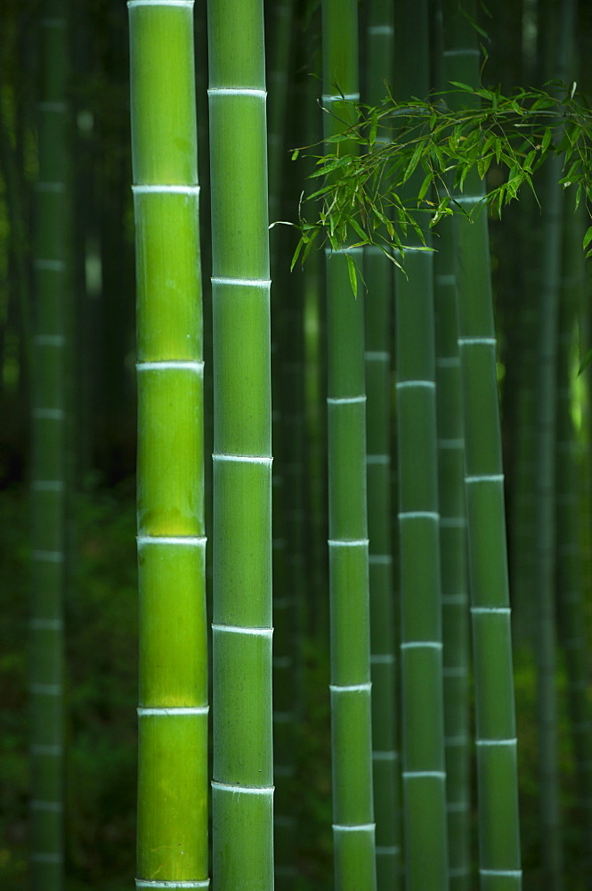 Bamboo forest in Tenryu-ji temple, Kyoto, Japan, Asia - 1238-109