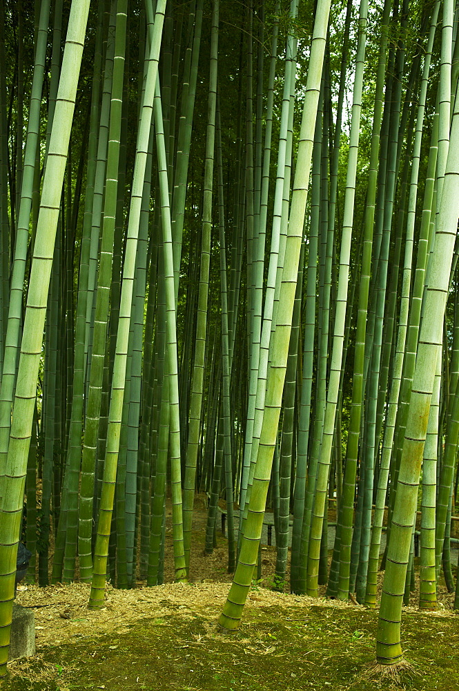Bamboo forest in Kodai-ji temple, Kyoto, Japan, Asia - 1238-111