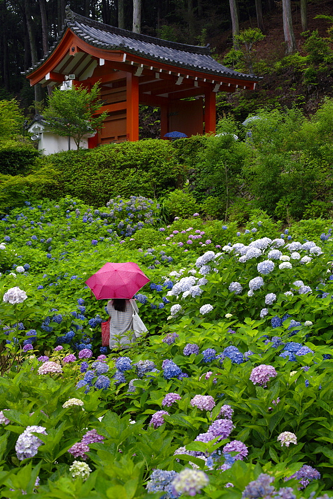 Rainy day during hydrangea season, Mimuroto-ji temple, Kyoto, Japan, Asia
