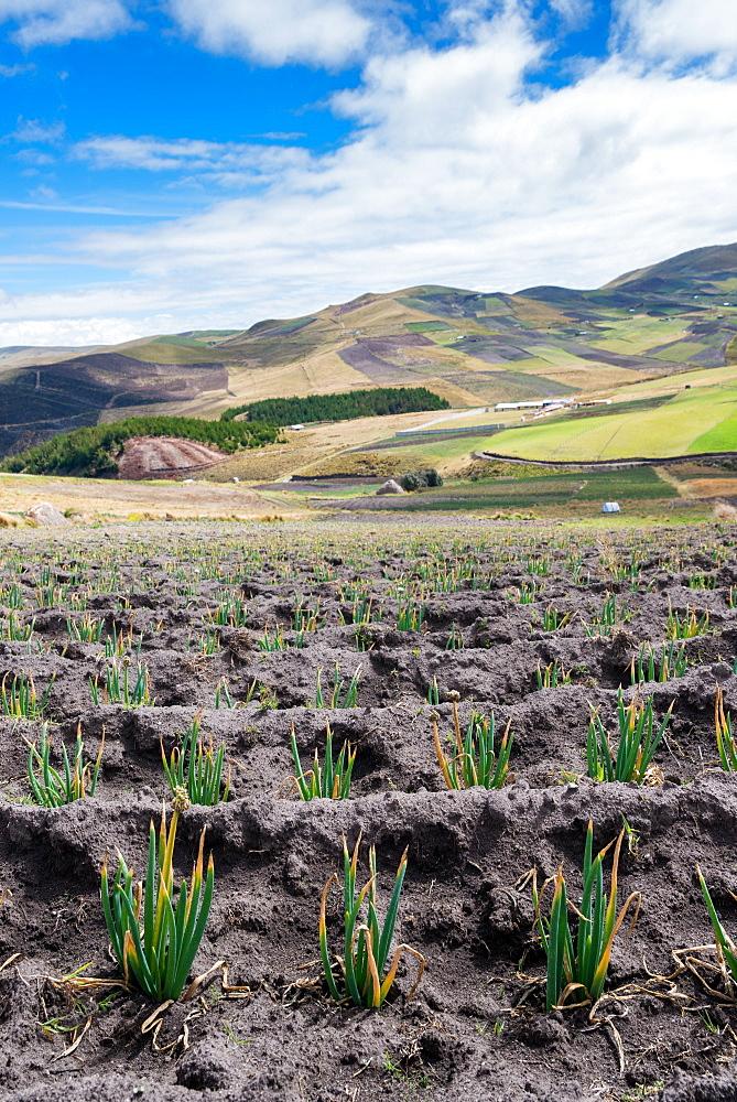 Andean vegetation - 1243-32