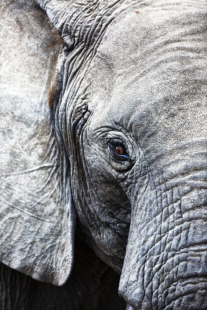 Eye of the African elephant, Serengeti National Park, Tanzania, East Africa, Africa