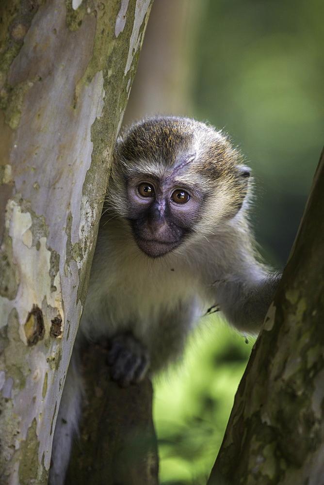 Vervet monkey (Chlorocebus pygerythrus), Uganda, Africa - 1249-32