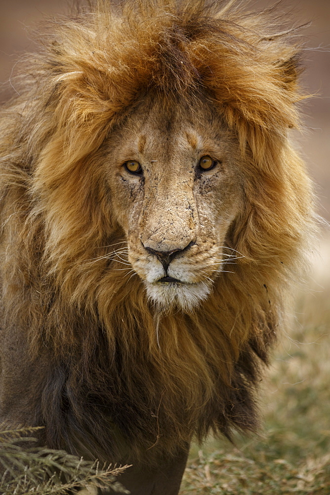 African lion (Panthera leo), Serengeti National Park, Tanzania, East Africa, Africa - 1249-36