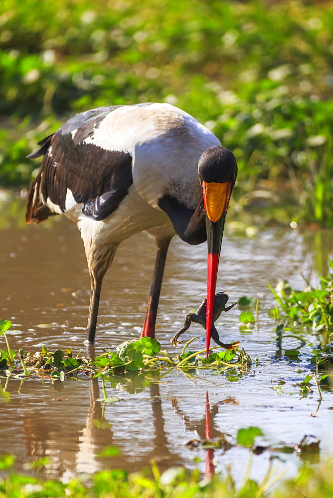 Saddle-billed stork (Ephippiorhynchus senegalensis), Ngorongoro Crater, Tanzania, East Africa, Africa