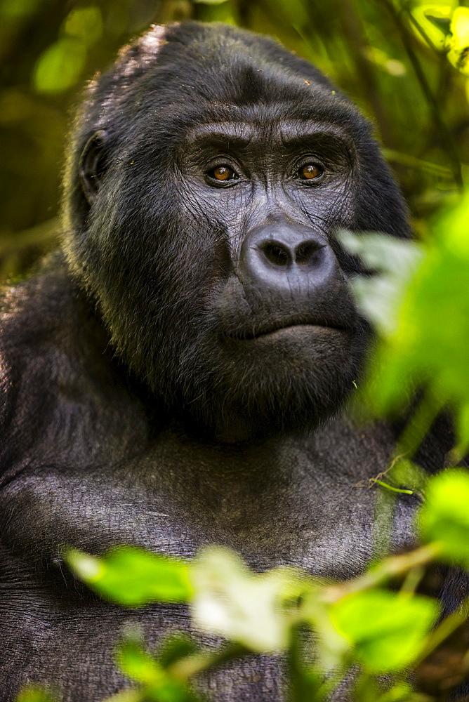 Mountain gorilla (Gorilla beringei beringei), Bwindi Impenetrable Forest, Uganda.
