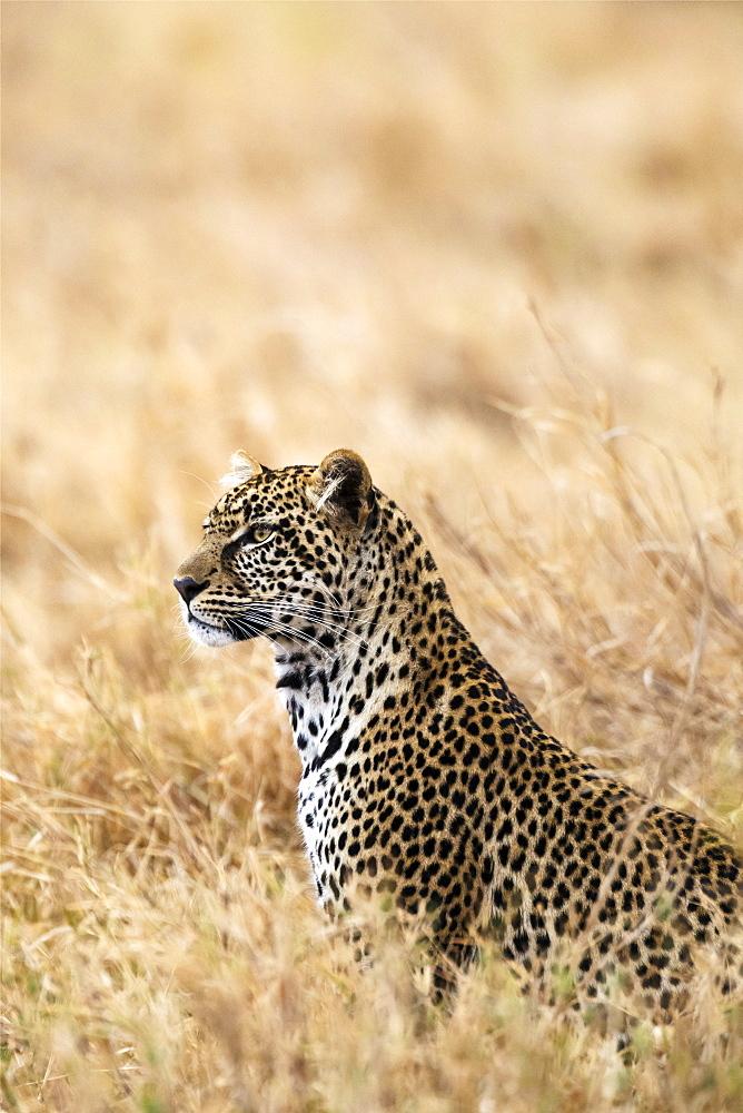 African Leopard (Panthera pardus pardus), Serengeti National Park, Tanzania.
