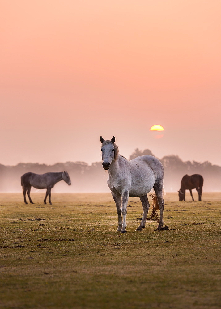 Wild horses on mist-veiled heathland in the New Forest as the dawn sun rises above the distant treeline, Hampshire, England, United Kingdom, Europe