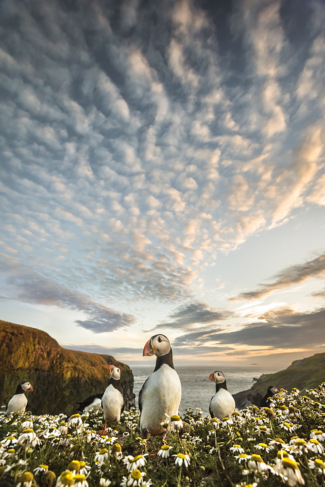 Skomer puffins photographed low down at sunset with a wide angle lens, Skomer, Pembrokeshire, Wales, United Kingdom, Europe