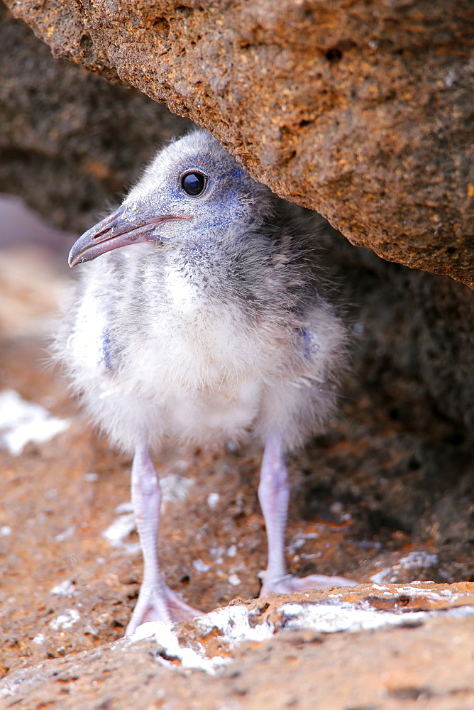 Baby Swallow-tailed Gull (Larus furcatus) on North Seymour island, Galapagos National Park, Ecuador, South America