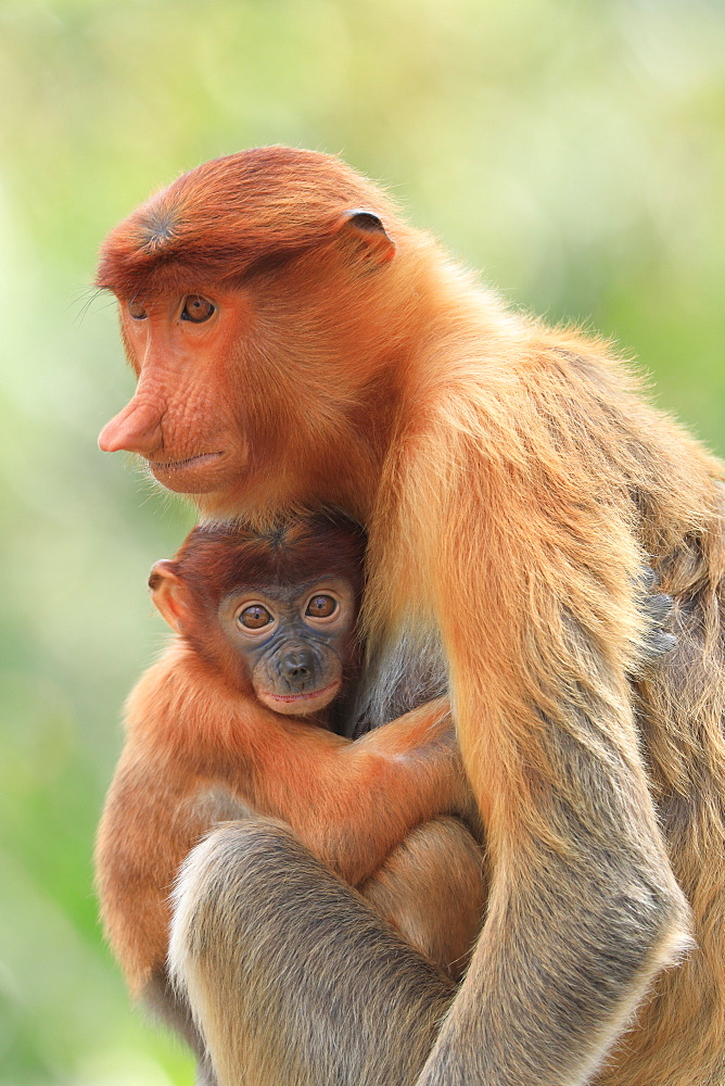 Proboscis Monkey mother and baby, Borneo, Malaysia, Southeast Asia, Asia