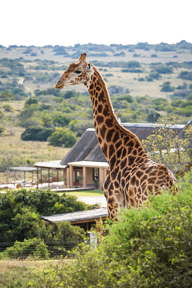 A giraffe strolls by a game lodge in the Amakhala Game Reserve on the Eastern Cape, South Africa, Africa
