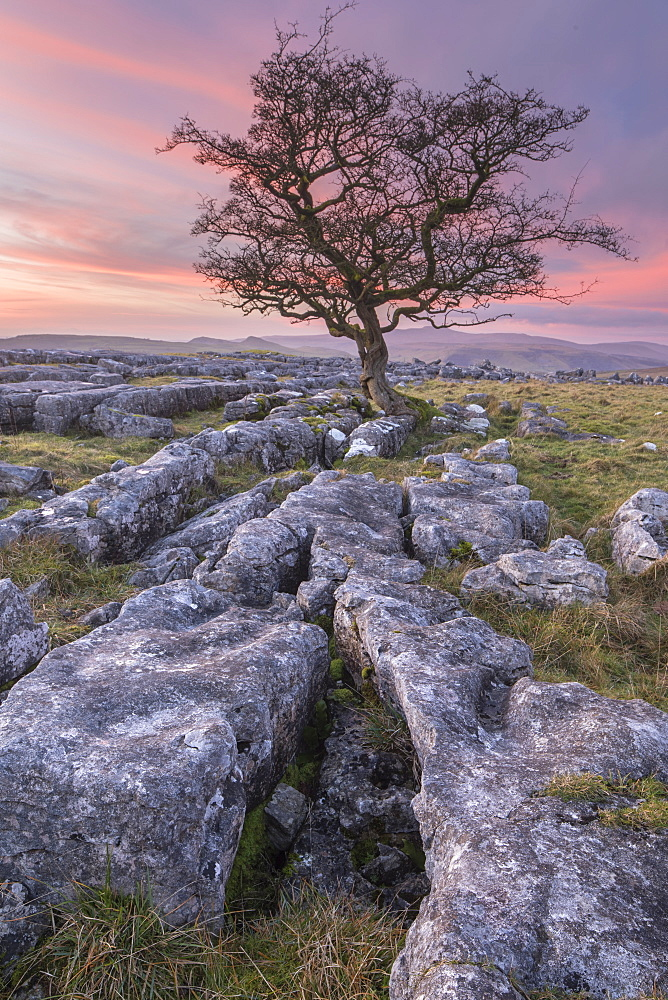 Limestone pavement and lone hawthorn tree at Winskill Stones Nature Reserve, Malhamdale, Yorkshire Dales, Yorkshire, England, United Kingdom, Europe - 1266-100