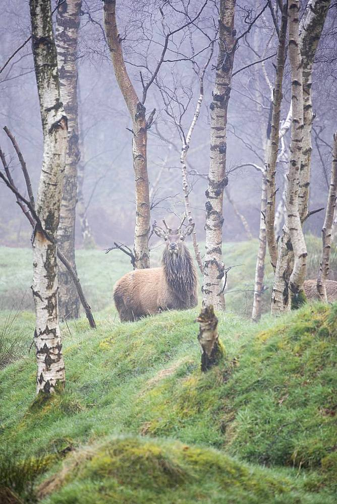 Red Deer (Cervus elaphus) stag and silver birch trees in woodland location, Peak District, Derbyshire, England, United Kingdom, Europe - 1266-141