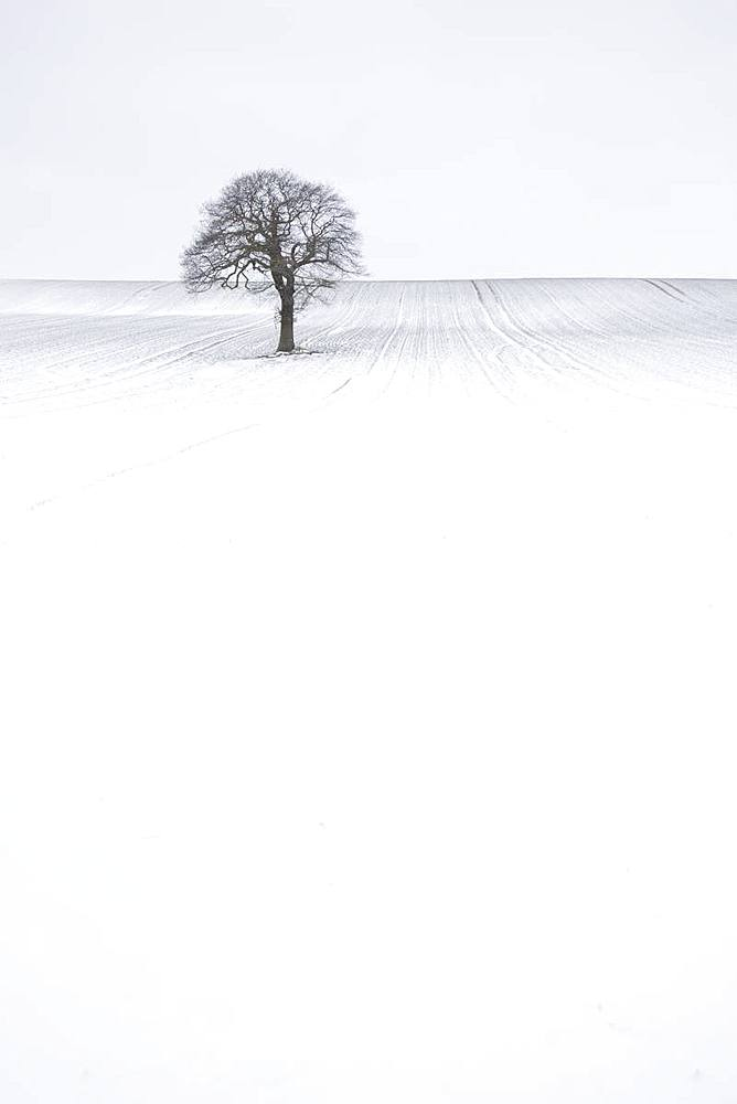 Lone solitary tree in winter snow covered field with plain background, Wakefield, West Yorkshire, Yorkshire, England, United Kingdom, Europe - 1266-142