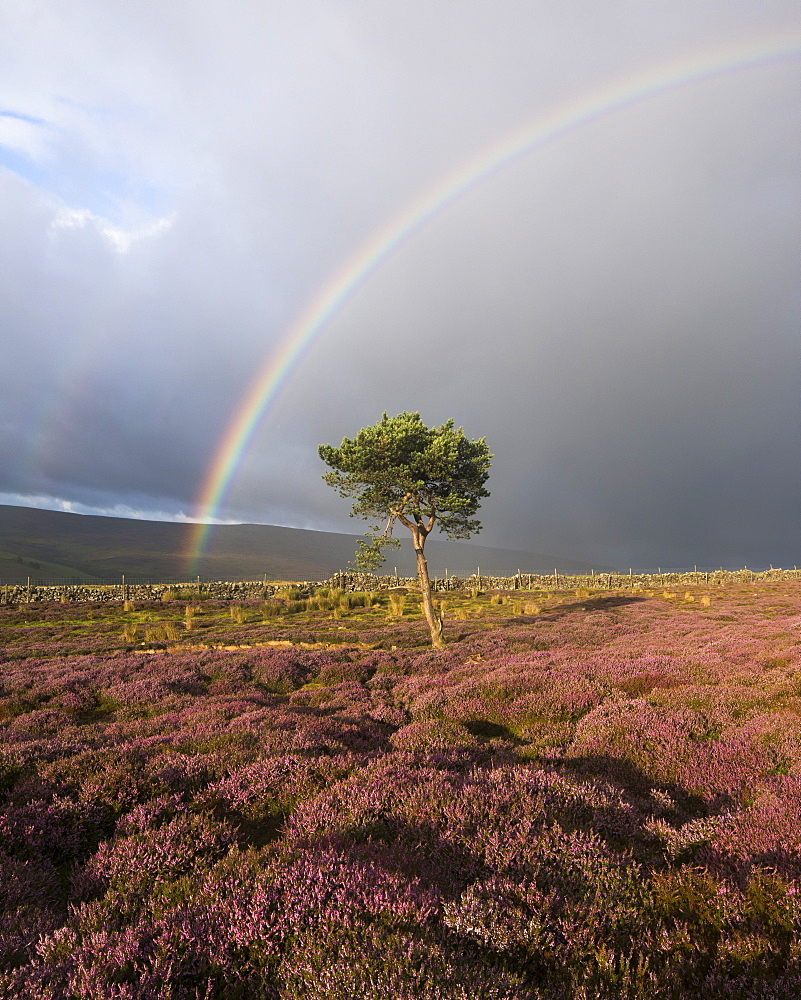 Rainbow and lone tree with colourful heather above the village of Fremington, Swaledale, Yorkshire Dales, North Yorkshire, England, United Kingdom, Europe - 1266-27