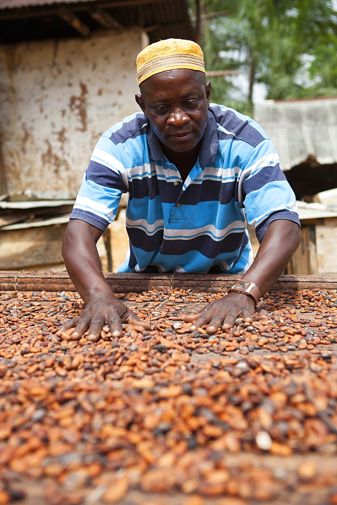 A cocoa farmer spreading out some cocoa beans on bamboo matting to dry in the sun, Ghana, West Africa, Africa