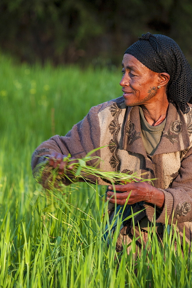 A woman working in the fields on her farm, Ethiopia, Africa - 1270-17
