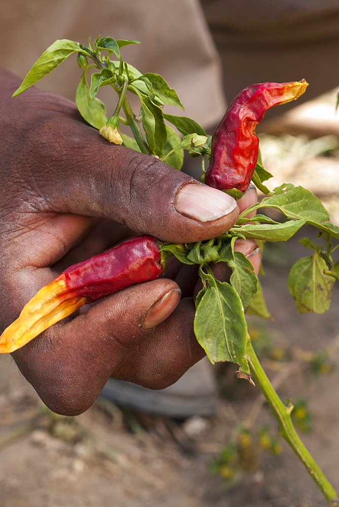 A close up of a famer's hand as he checks his chilli plant, Ethiopia, Africa