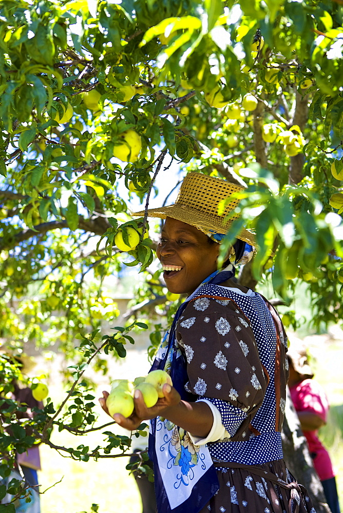 A woman smiling as she picks some peaches from a tree, Lesotho, Africa