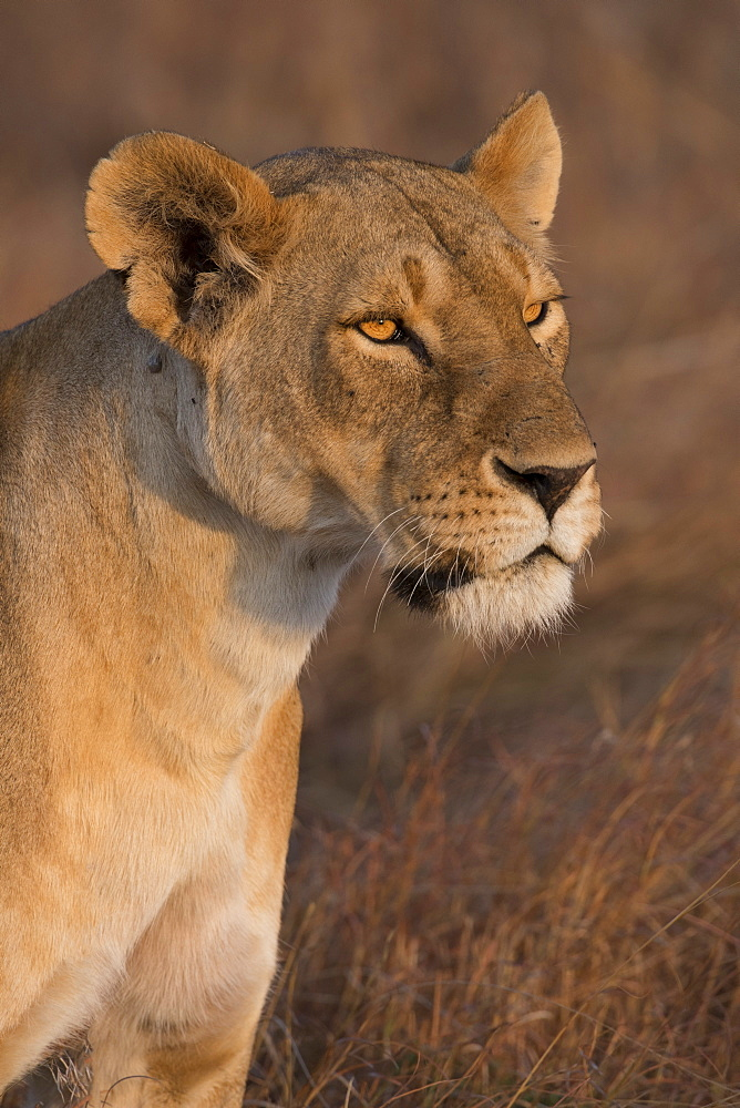 Lioness (Panthera Leo) of the Lemek pride in Lemek Conservancy, Masai Mara, Kenya, East Africa, Africa - 1271-7