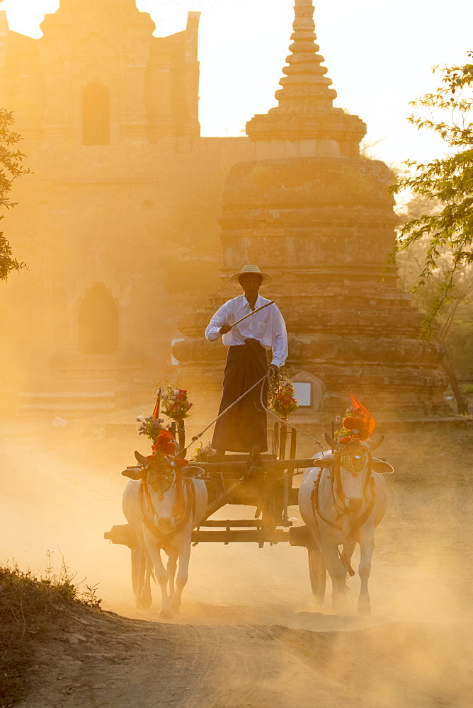 Oxen and cart driven through the dust near an ancient temple at sunset in Bagan (Pagan), Myanmar (Burma), Asia