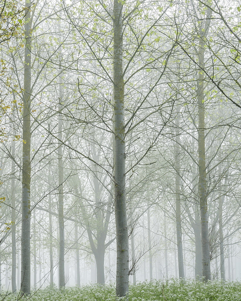 Thick fog amongst a tree plantation with fresh spring leaves at Clyst St. Mary, Devon, England, United Kingdom, Europe - 1295-48