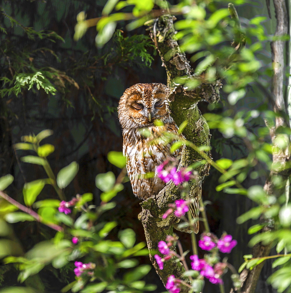 Tawny Owl in a rehabilitation centre, England, United Kingdom, Europe