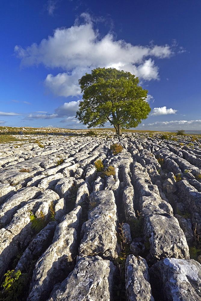 A solitary tree on the limestone pavement at Malham Lings, near Malham, North Yorkshire, England, United Kingdom, Europe