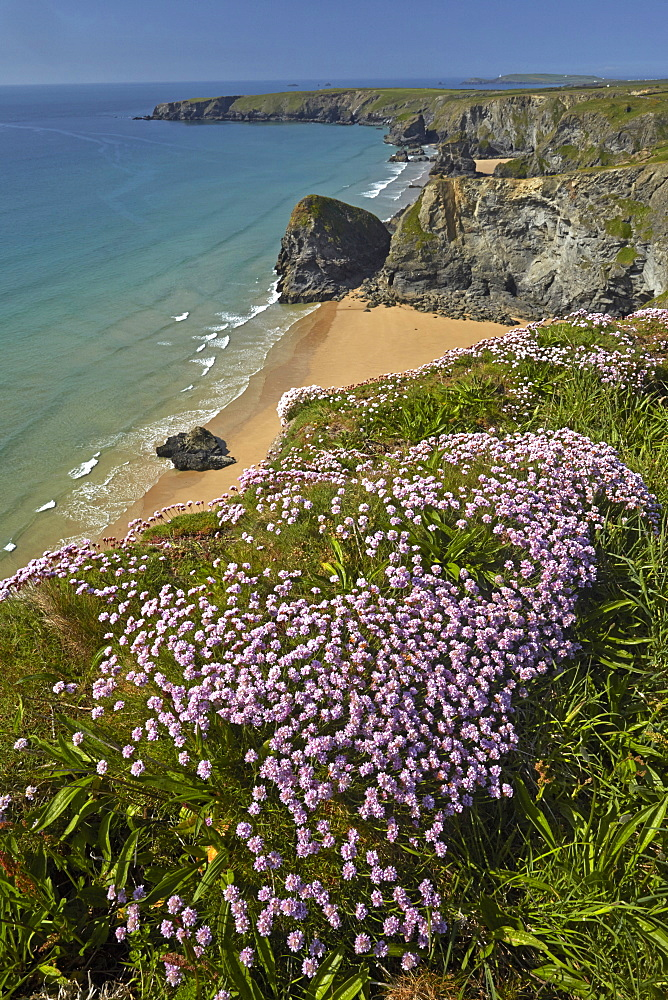 Thrift flowering on the clifftops near Bedruthan Steps on the North Cornish coast, Cornwall, England, United Kingdom, Europe