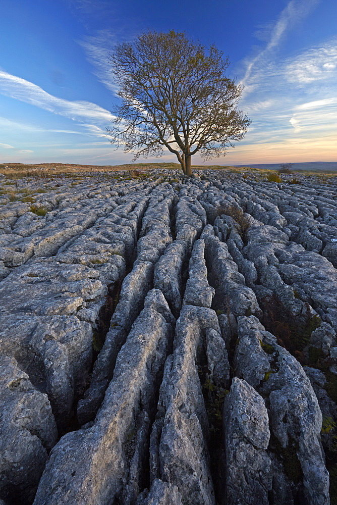 Sunset over a solitary tree growing on the limestone pavement at Malham Lings, North Yorkshire, England, United Kingdom, Europe.