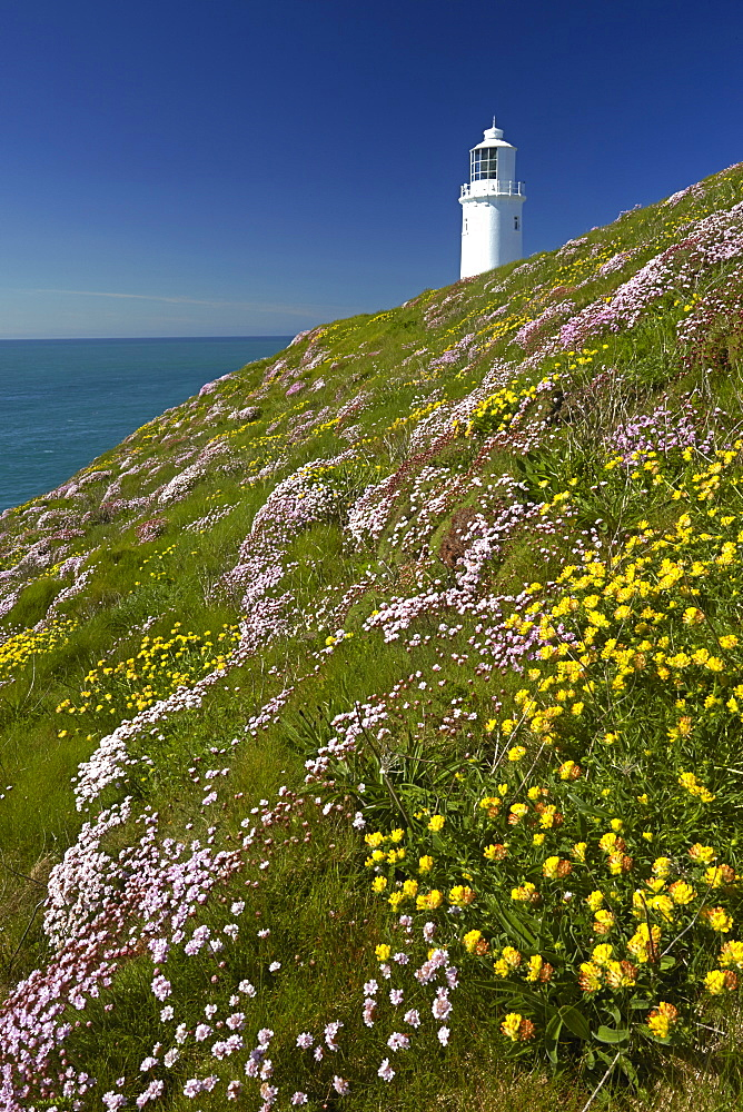 Thrift and kidney vetch growing on cliff tops near Trevose Head lighthouse on the north Cornish coast, Cornwall, England, United Kingdom, Europe