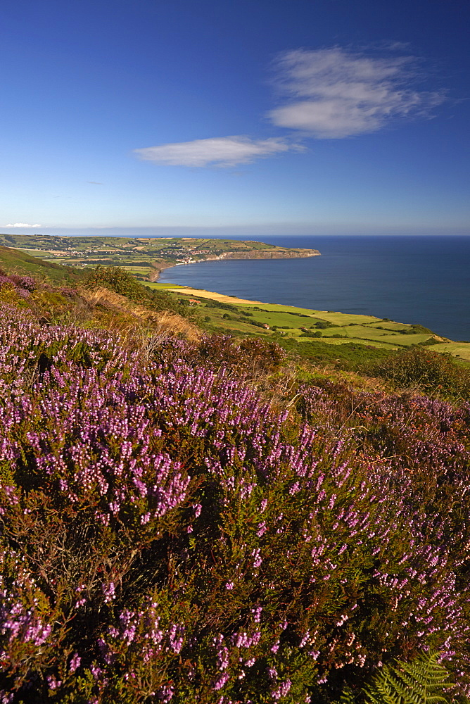 Robin Hood's Bay from the heather covered moor above Ravenscar, North York Moors National Park, North Yorkshire, England, United Kingdom, Europe - 1298-22