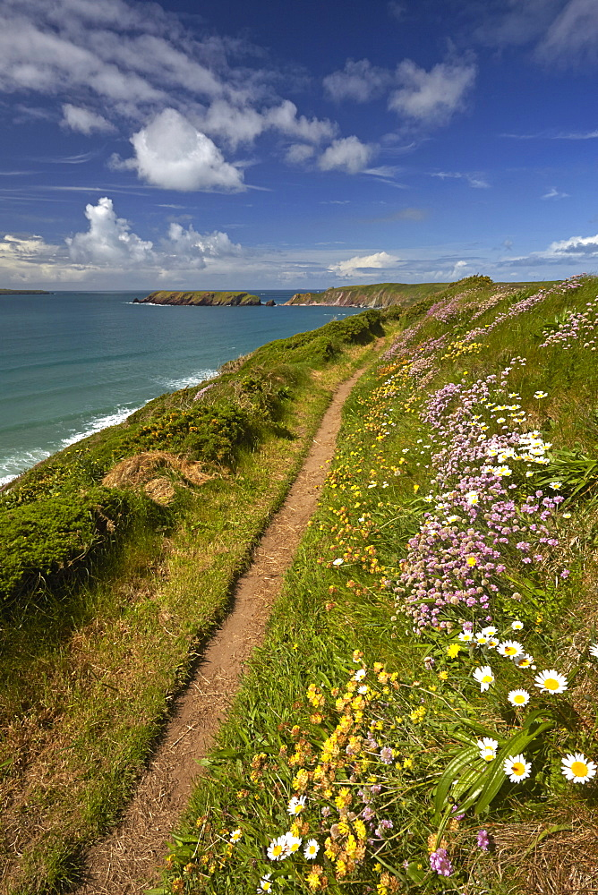 Spring flowers growing alongside the Pembrokeshire coastal path above Marloes, Pembrokeshire, Wales, United Kingdom, Europe
