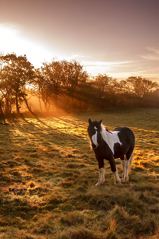 Horse (Equus ferus caballus) in sunlight field at sunrise, Cloudside, Cheshire, England, United Kingdom, Europe