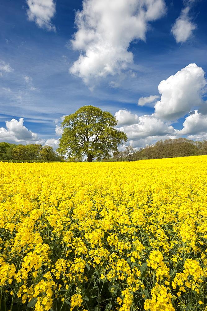 Oak tree set amongst a field of Rapeseed, Congleton, Cheshire, England, United Kingdom, Europe