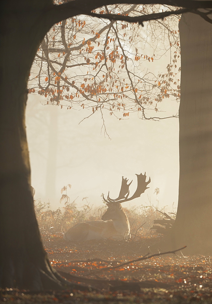 A fallow deer stag (Dama dama) rests in a misty and foggy Richmond Park one winter sunrise, Richmond, Greater London, England, United Kingdom, Europe - 1325-9