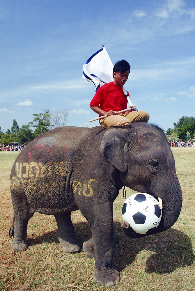 Elephant playing football during the November Elephant Round-up Festival at Surin City, Thailand, Southeast Asia, Asia - 142-3822