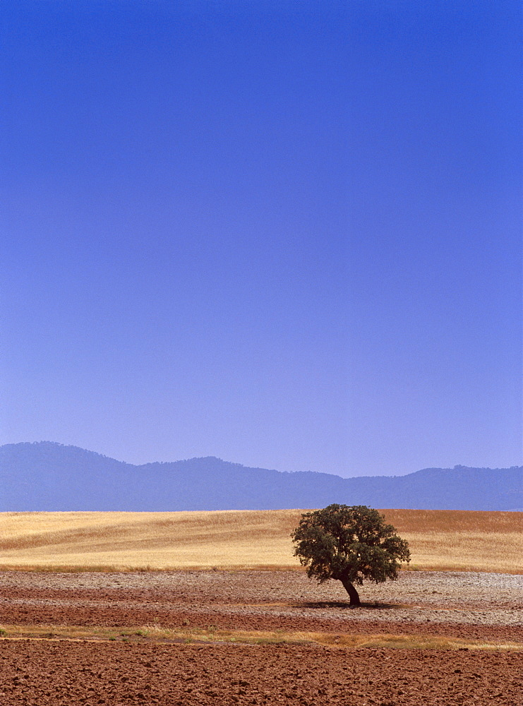 Single cork tree near Albacete, La Mancha, Spain, Europe - 16-3185